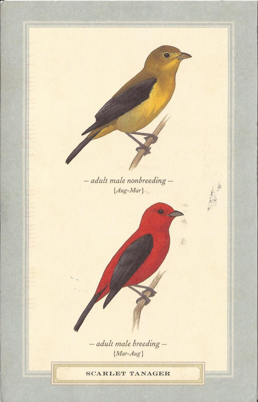 David Sibley, Scarlet Tanager (Piranga olivacea), 2013