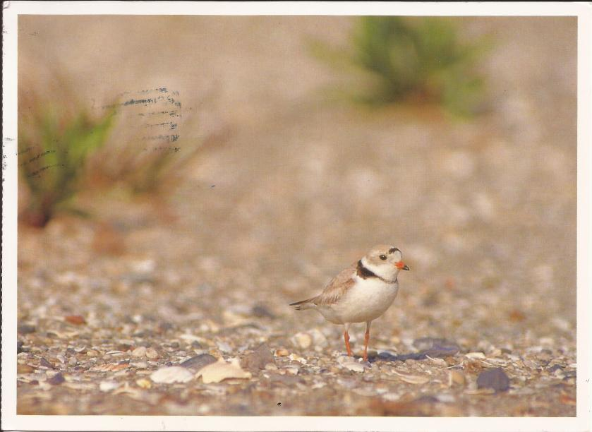 Piping Plover (Charadrius melodus) photograph by Michael Baytoff